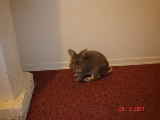 Cute Cat: Hershey the Gray Rabbit