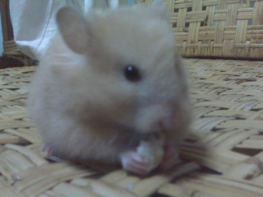 Cute Cat: Gold the Teddy-Bear Hamster