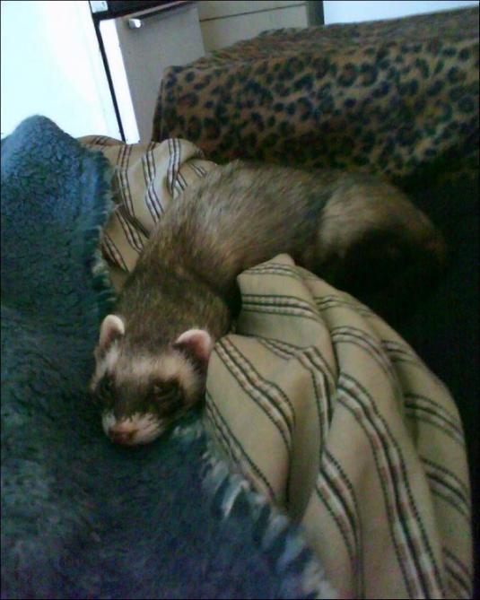 Cute Cat: Nico the Ferret